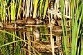 Gadwall hen and brood Seedskaee NWR 03 (15110221901).jpg