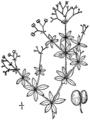 Galium asprellum drawing.png