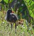 Gallinule-chick.jpg
