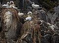 Gannet. Norwegian, Havsule. - Flickr - Per Harald Olsen.jpg
