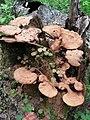 Ganoderma lucidum 87540943.jpg