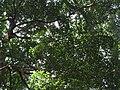 Garcinia imberti-2-chemunji-kerala-India.jpg