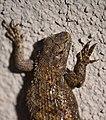 Garden Lizard (13303473214).jpg