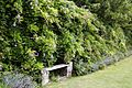 Garden bench and Wisteria at Goodnestone Park Kent England.jpg