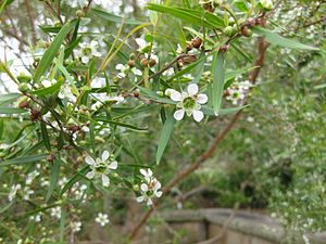 Leptospermum petersonii