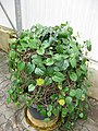 Gardenology.org-IMG 7746 qsbg11mar.jpg