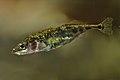 Gasterosteus aculeatus - 50737277588.jpg