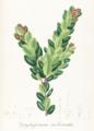 Gaylussacia imbricata Pohl126.png