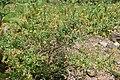 Genista germanica kz01.jpg