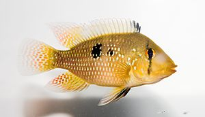 Geophaginae - A dwarf cichlid (Apistogramma agassizii) above, and an eartheater (Geophagus brasiliensis) below
