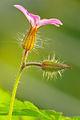 Geranium robertianum - flowers.jpg