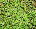 Geranium robertianum in Aveyron (14).jpg