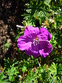 Geranium sanguineum 'twinned flower form' 2007-06-02 (flower).jpg