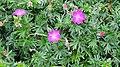 Geranium sanguineum (Bloody Cranesbill) , Cannon Hill, Ardrossan North Ayrshire.jpg