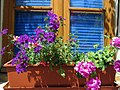 Geranium window box.jpg