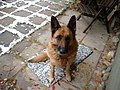 German Shepherd (aka Alsatian and Alsatian Wolf Dog), Deutscher Schäferhund (Folder (IV) 35.JPG