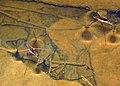 Gerridae (water striders) (Blunt Run, Muskingum Township, Muskingum County, Ohio, USA) 5 (22238819836).jpg