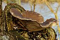 Gewone oesterzwam (Pleurotus ostreatus). Paddenstoel op els 02.JPG