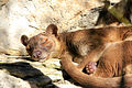 Gfp-sleeping-fossa.jpg