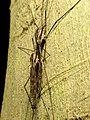 Giant Crane Flies (29191613690).jpg