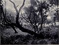 Giant Heath Trees, MON 1909.jpg
