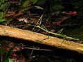 Giant Stick Insect (Phobaeticus serratipes) (8727669567).jpg