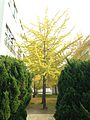 Ginkgo biloba tree with yellow leaves in Ryujo Middle School of Yanagawa, Fukuoka.jpg