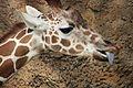 Giraffa camelopardalis at the Philadelphia Zoo 002.jpg
