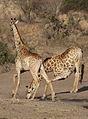Giraffe, Giraffa camelopardalis at Mahone Loop, Punda Maria, Kruger National Park, South Africa (20199294673).jpg