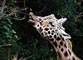 Giraffe (12316399293).jpg