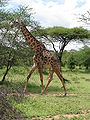 Giraffe in serengeti.jpg