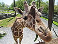 Giraffe ready for closeup.JPG