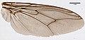 Glossina palpalis (YPM IZ 099615).jpeg