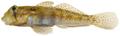 Gnatholepis thompsoni - pone.0010676.g172.png