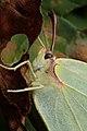 Gonepteryx rhamni (36063591183).jpg