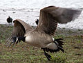Goose in Flight (6628276551).jpg