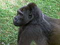 Gorilla gorilla 03.JPG