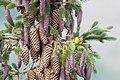 Grönsiska-4470 - Flickr - Ragnhild & Neil Crawford.jpg