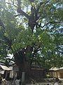 Grand camphor tree in Dazaifu Temman Shrine.jpg