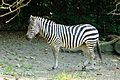 Grant's Zebras (Equus burchelli).jpg