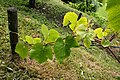 Grape-vine - panoramio.jpg