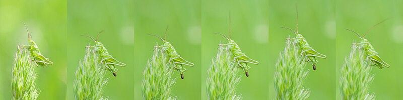 shitting grasshopper nymph