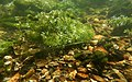 Gravier silex flint nodules fonds de la rivière Les baillons à Enquin 03.jpg