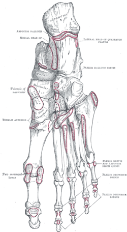 Interphalangeal joints of foot - Wikipedia