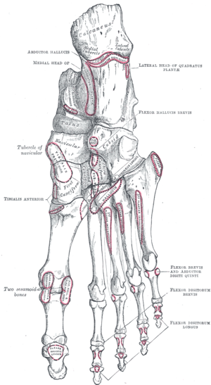 Toe - Bones of the right foot. Plantar surface.