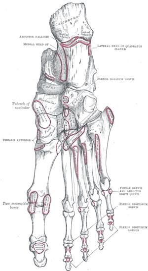 Toe - Bones of the right foot. Plantar surface.