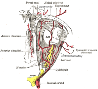 Central retinal artery - The ophthalmic artery and its branches. (Central retinal artery visible at center.)