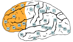 Gray726-Brodman-prefrontal.svg
