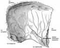 Gray 133 - Os pariétal gauche - Surface-interne.png