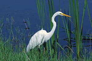 Great Egret at Bird Island near Ponte Vedra Be...